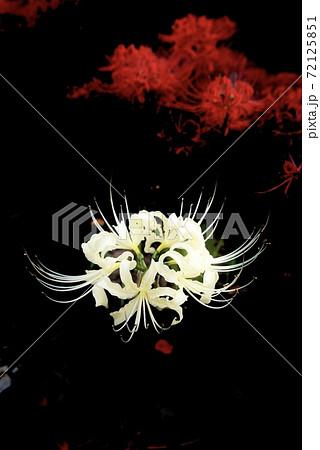 闇に浮かぶ白い彼岸花と赤い彼岸花 72125851