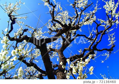 大阪城公園(大阪府)に咲く梅の花<緑萼 (りょくがく)> 72136460