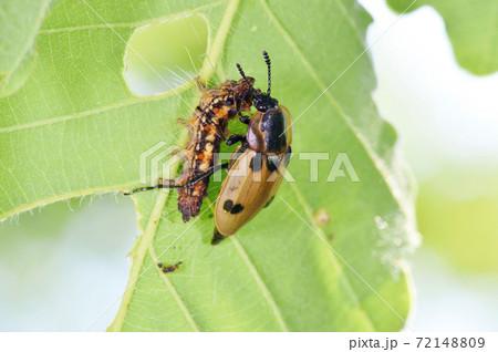 幼虫を捕食するヨツボシヒラタシデムシ(北海道・鶴居村) 72148809