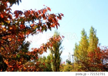 秋の風景:桜の葉紅葉&ポプラの木:青空:淀川河川敷公園風景 72152701