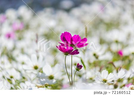 桃園花彩節-風中搖擺的波斯菊 72160512