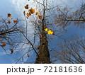 【秋晴れ】落葉した後の銀杏の木 72181636