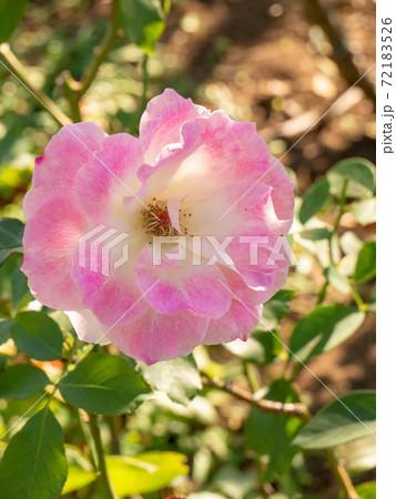 11月の庭の日陰のピンクのバラ(ロサキネンシズ) 72183526