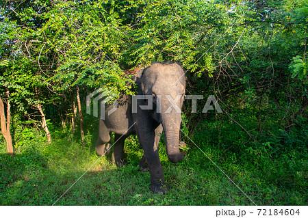 スリランカのヤーラ国立公園の野生のゾウが近づいてきた 72184604