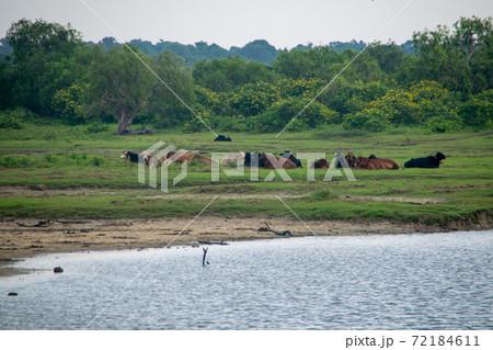 スリランカのヤーラ国立公園の水牛の群れ 72184611