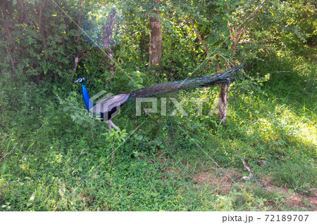 スリランカのヤーラ国立公園のインドクジャク 72189707