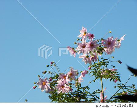 青空にそびえるコウテイダリア桃色の花 72193583