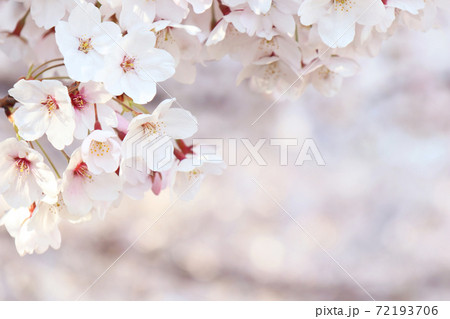 満開の桜(右下コピースペースあり) 72193706