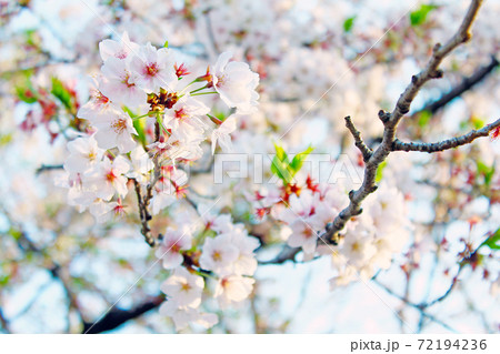 <春イメージ>明るい日差しの中の葉桜 72194236