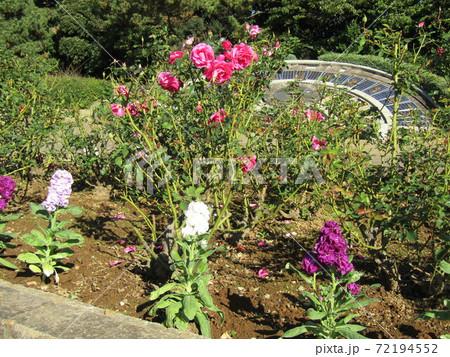 日時計の前の花壇に桃色の奇麗なバラの花 72194552