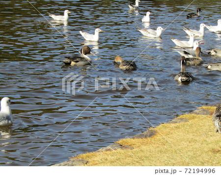 稲毛海浜公園の池には冬の渡り鳥ユリカモメとオナガガモ 72194996