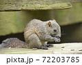 ひまわりの種を食べるタイワンリス1 72203785