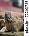 ひまわりの種を食べるタイワンリス2 72203786