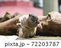 ひまわりの種を食べるタイワンリス2 72203787