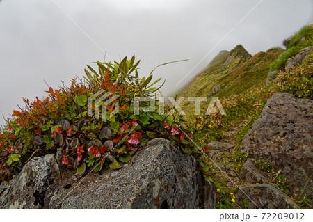 霧湧く谷川連峰・上越国境稜線のイワカガミの花 72209012