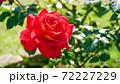 真っ赤に咲き誇る美しきバラの花 72227229