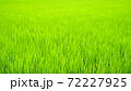 一面を緑色に覆う美しい田んぼの稲 72227925