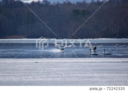 湖面を走るように飛び立つ春の白鳥 72242320