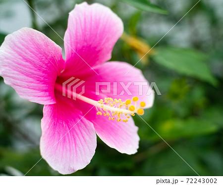 沖縄に咲く赤いかわいいハイビスカスの花 72243002