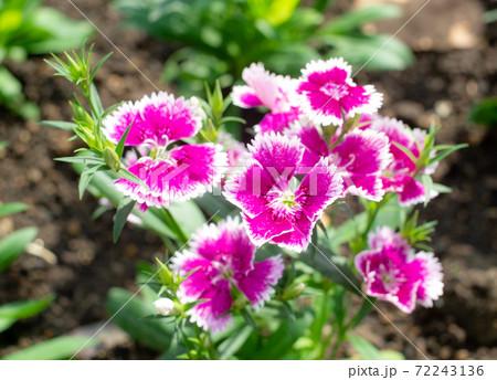 沖縄の花壇に咲く赤いアメリカナデシコの花 72243136