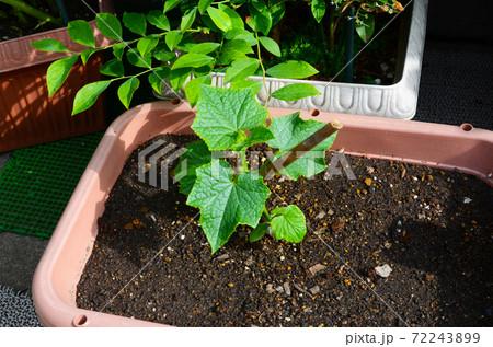 家庭菜園 プランターにキュウリの苗植え付け 72243899