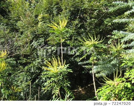 細葉ヒイラギナンテンとも言うマホニアの黄色い花のタグ 72247020