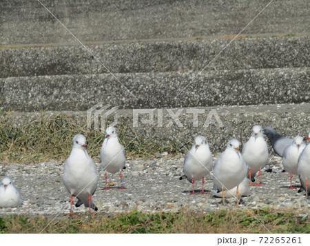 検見川浜の階段で一休みしている冬の渡り鳥ユリカモメ 72265261