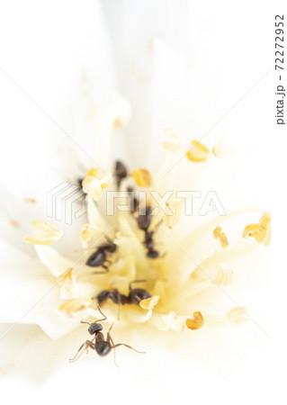 花の中で採餌する巣仲間の元へ向かうアリ 72272952