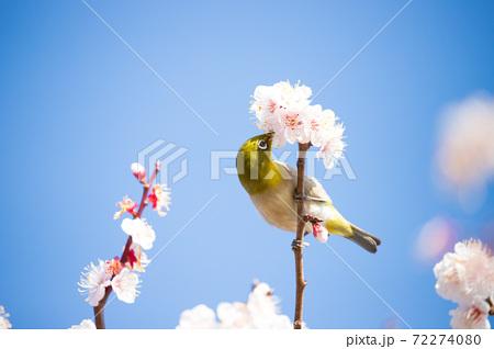桜とメジロ 72274080