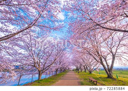 唐古・鍵遺跡の桜 72285884