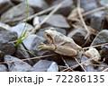 枯葉色のアマガエル 72286135