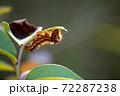 ナシケンモンの幼虫 72287238