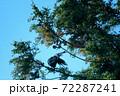 杉の木の枝で羽繕いするカラス 72287241