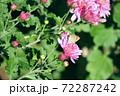 薄紫の小菊に留まるベニシジミ 72287242