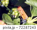 ランタナの実を食べるツチイナゴ 72287243