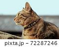 ブロック塀の上にキジトラ 72287246
