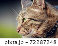 微笑むキジトラの横顔 72287248