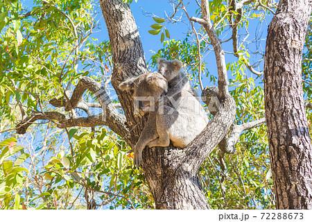 野生のコアラ 親子 72288673