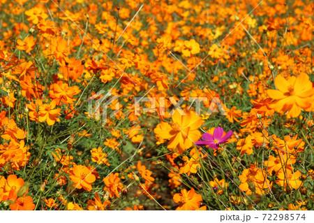 キバナコスモスの中に咲く一輪のピンクコスモス 72298574