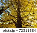 落葉まえの銀杏の葉 72311384