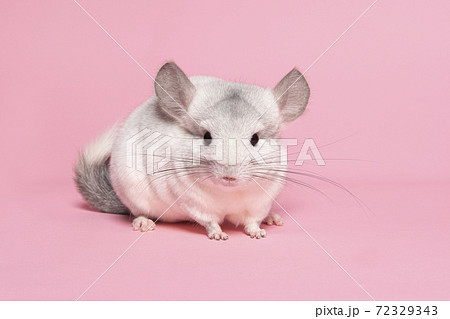 Cute white chinchilla on a pink background looking at the camera 72329343