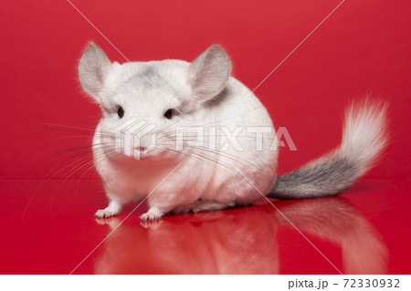 Cute chinchilla looking at the camera seen from the side on a red background 72330932