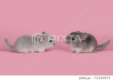 Two cute gray baby chinchillas seen from the side walking towards each other on a pink background 72330974