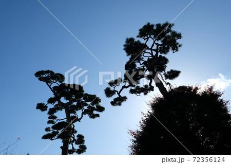 青空を背景に伸びる松の木のシルエット 72356124