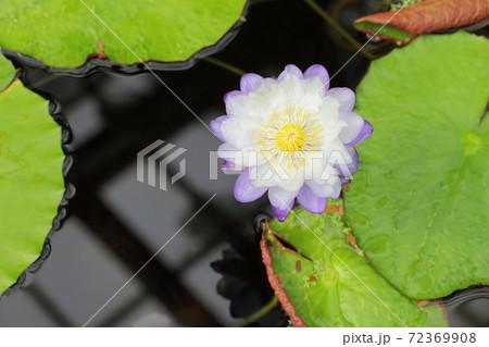 イミュタビリス・ディープブルー・熱帯スイレンの花 72369908