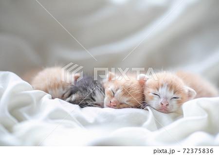 赤ちゃん猫、4匹揃ってお昼寝中 72375836