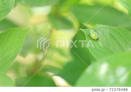 紫陽花の葉っぱで一休みするアマガエル 72376488