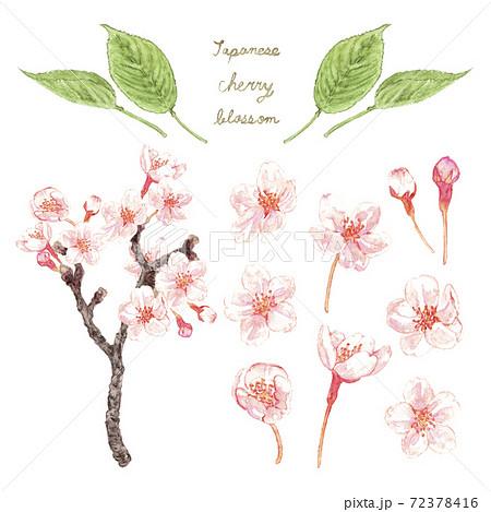 水彩色鉛筆_桜_ピンク 72378416