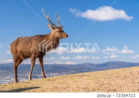《奈良県》若草山の鹿・朝の風景 72384721