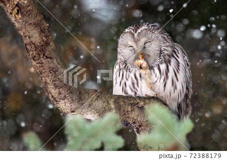 木の上でたたずむエゾフクロウ 72388179